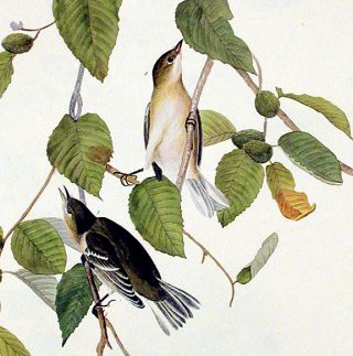 "Autumnal Warbler. From ""The Birds of America"" (Amsterdam Edition)"