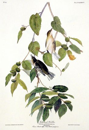 "Autumnal Warbler. From ""The Birds of America"" (Amsterdam Edition). John James AUDUBON."