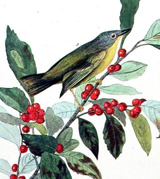 "Nashville Warbler. From ""The Birds of America"" (Amsterdam Edition)"
