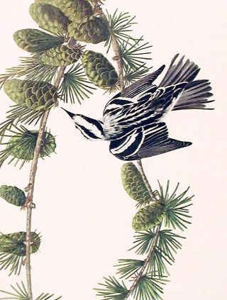 """Black and White Creeper. From """"The Birds of America"""" (Amsterdam Edition)"""