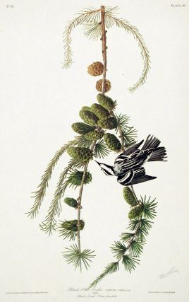 "Black and White Creeper. From ""The Birds of America"" (Amsterdam Edition). John James AUDUBON"