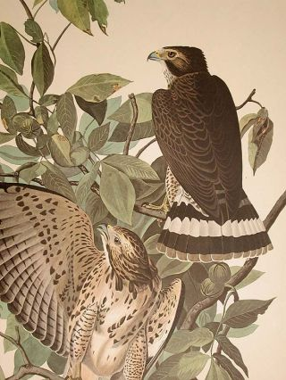 "Broad-winged Hawk. From ""The Birds of America"" (Amsterdam Edition)"