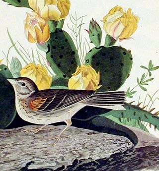 """Grass Finch or Bay-winged Bunting. From """"The Birds of America"""" (Amsterdam Edition)"""