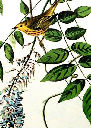 "Yellow-poll Warbler. From ""The Birds of America"" (Amsterdam Edition)"