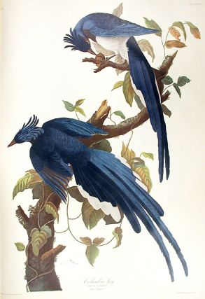 "Columbia Jay. From ""The Birds of America"" (Amsterdam Edition). John James AUDUBON"