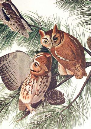 """Little Screech Owl. From """"The Birds of America"""" (Amsterdam Edition)"""