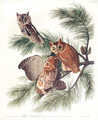 "Little Screech Owl. From ""The Birds of America"" (Amsterdam Edition). John James AUDUBON"