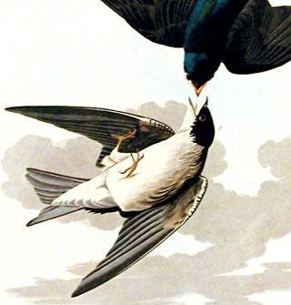 "White-bellied Swallow. From ""The Birds of America"" (Amsterdam Edition)"