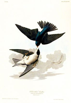 "White-bellied Swallow. From ""The Birds of America"" (Amsterdam Edition). John James AUDUBON"