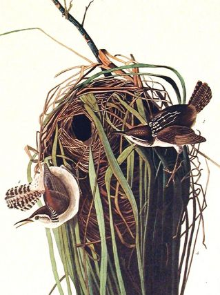"Marsh Wren. From ""The Birds of America"" (Amsterdam Edition)"