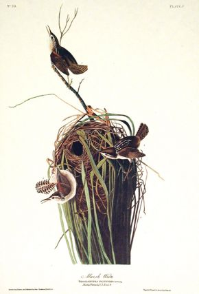 "Marsh Wren. From ""The Birds of America"" (Amsterdam Edition). John James AUDUBON"
