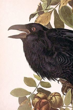 "Raven. From ""The Birds of America"" (Amsterdam Edition)"