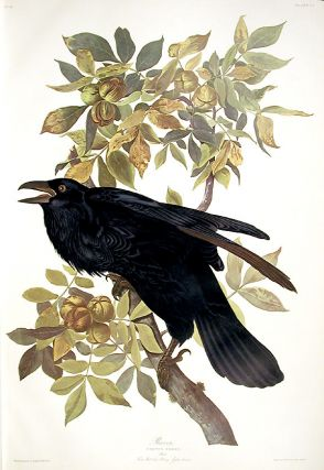 "Raven. From ""The Birds of America"" (Amsterdam Edition). John James AUDUBON"
