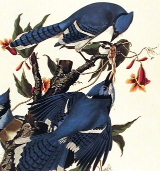 "Blue Jay. From ""The Birds of America"" (Amsterdam Edition)"
