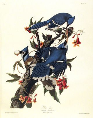"Blue Jay. From ""The Birds of America"" (Amsterdam Edition). John James AUDUBON"
