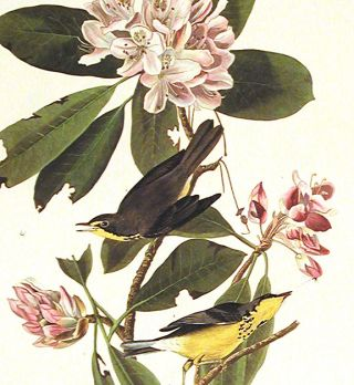 """Canada Warbler. From """"The Birds of America"""" (Amsterdam Edition)"""
