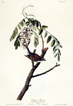 "Chipping Sparrow. From ""The Birds of America"" (Amsterdam Edition). John James AUDUBON."