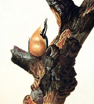 """Red-breasted Nuthatch. From """"The Birds of America"""" (Amsterdam Edition)"""