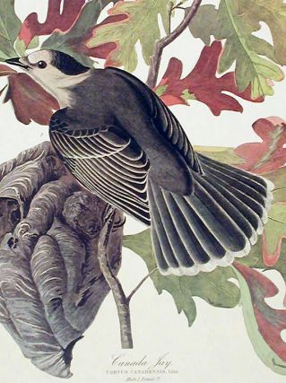 "Canada Jay. From ""The Birds of America"" (Amsterdam Edition). John James AUDUBON"