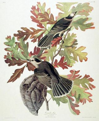 "Canada Jay. From ""The Birds of America"" (Amsterdam Edition)"