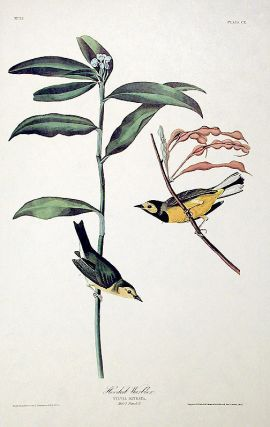 "Hooded Warbler. From ""The Birds of America"" (Amsterdam Edition)"