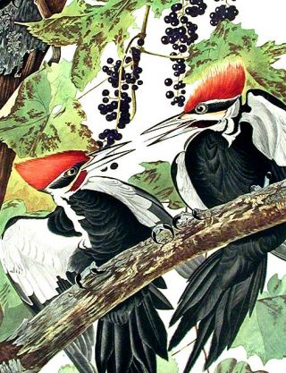"""Pileated Woodpecker. From """"The Birds of America"""" (Amsterdam Edition)"""