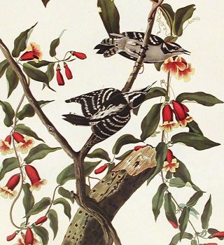 "Downy Woodpecker. From ""The Birds of America"" (Amsterdam Edition)"