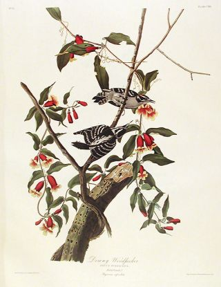 "Downy Woodpecker. From ""The Birds of America"" (Amsterdam Edition). John James AUDUBON"