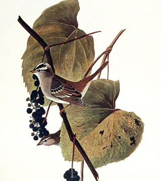"White-crowned Sparrow. From ""The Birds of America"" (Amsterdam Edition)"