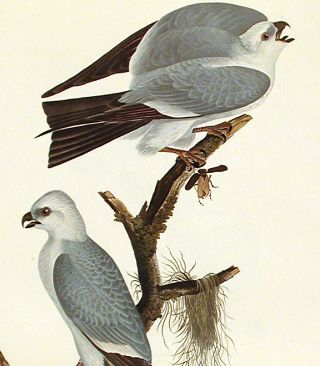 "Mississippi Kite. From ""The Birds of America"" (Amsterdam Edition)"