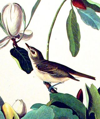 "Warbling Flycatcher. From ""The Birds of America"" (Amsterdam Edition)"