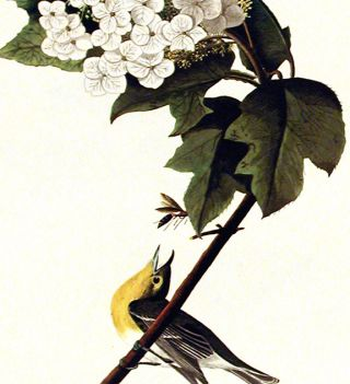 "Yellow-throated Vireo. From ""The Birds of America"" (Amsterdam Edition)"