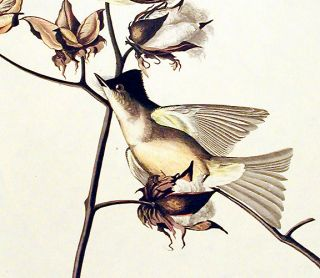 "Pewit Flycatcher. From ""The Birds of America"" (Amsterdam Edition)"