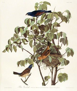 "Blue Grosbeak. From ""The Birds of America"" (Amsterdam Edition). John James AUDUBON"