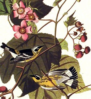 "Black & Yellow Warbler. From ""The Birds of America"" (Amsterdam Edition)"