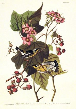 "Black & Yellow Warbler. From ""The Birds of America"" (Amsterdam Edition). John James AUDUBON"