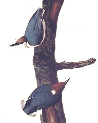 "Brown headed Nuthatch. From ""The Birds of America"" (Amsterdam Edition)"