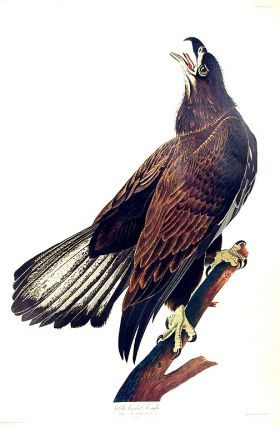 "White headed Eagle. From ""The Birds of America"" (Amsterdam Edition). John James AUDUBON"