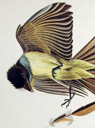 "Great Crested Flycatcher. From ""The Birds of America"" (Amsterdam Edition)"