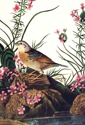 "Yellow-winged Sparrow. From ""The Birds of America"" (Amsterdam Edition)"