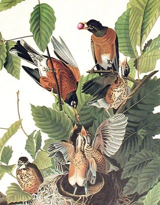 "American Robin. From ""The Birds of America"" (Amsterdam Edition)"