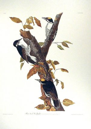 "Three-toed Woodpecker. From ""The Birds of America"" (Amsterdam Edition). John James AUDUBON"