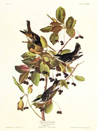"Black-poll Warbler. From ""The Birds of America"" (Amsterdam Edition). John James AUDUBON"