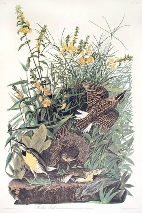 "Meadow Lark. From ""The Birds of America"" (Amsterdam Edition). John James AUDUBON"