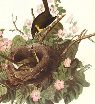 "Yellow-breasted Chat. From ""The Birds of America"" (Amsterdam Edition)"
