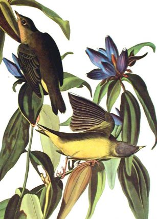 """Connecticut Warbler. From """"The Birds of America"""" (Amsterdam Edition)"""