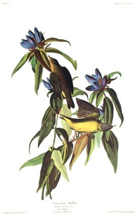 "Connecticut Warbler. From ""The Birds of America"" (Amsterdam Edition). John James AUDUBON"