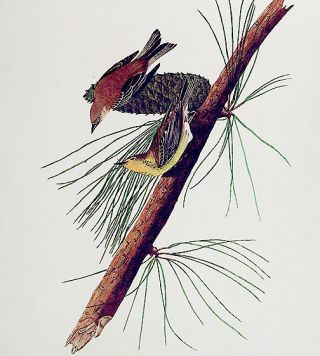 "Pine Creeping Warbler. From ""The Birds of America"" (Amsterdam Edition)"