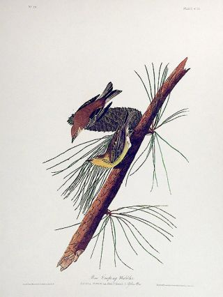 "Pine Creeping Warbler. From ""The Birds of America"" (Amsterdam Edition). John James AUDUBON"