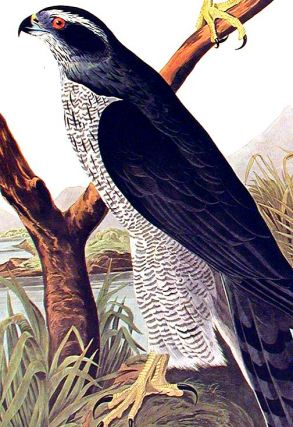 "Goshawk...Stanley Hawk. From ""The Birds of America"" (Amsterdam Edition)"